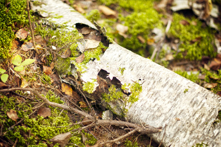 Felled trees in the forest photo