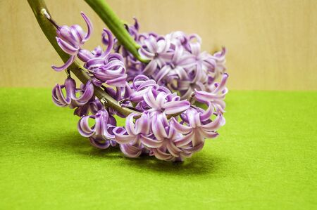 underlying: hyacinth flower Stock Photo