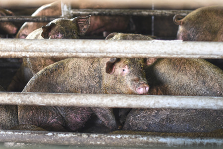 snoot: a lot of dirty pigs in the pen