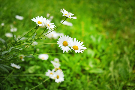 daisies on a background of grass