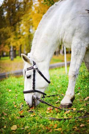 pista: White horse. Autumn Stock Photo