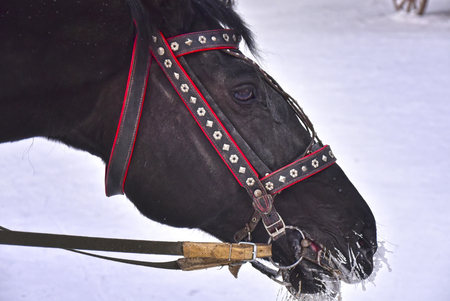 ass christmas: horse for riding on snow in winter