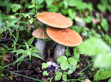 mushroom picking: edible mushrooms in the forest Stock Photo