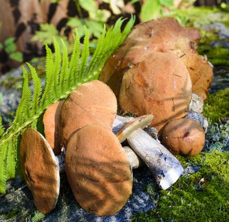fungi: edible mushrooms