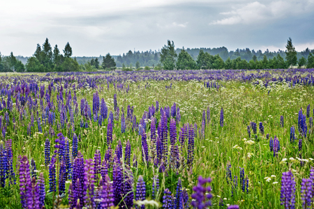 field of lupine in the summer 免版税图像