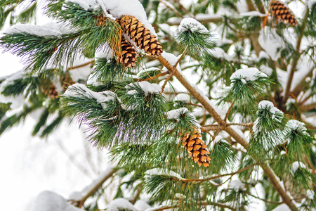 pine cones on a snow-covered branch of a pine tree. Christmas card.