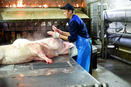 Pork carcasses are processed at the factory. Meat production. A place where pigs are killed Editorial