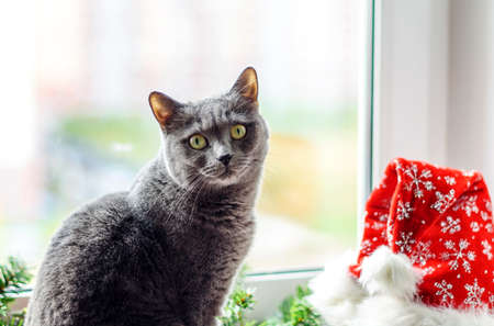 Cat on the window next to the Christmas garland and Santa's hat. The atmosphere of the winter holidays. Stock Photo