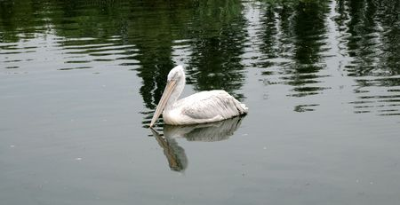 Bird the pelican floating on water in the Rostov zoo Stock Photo - 2409958