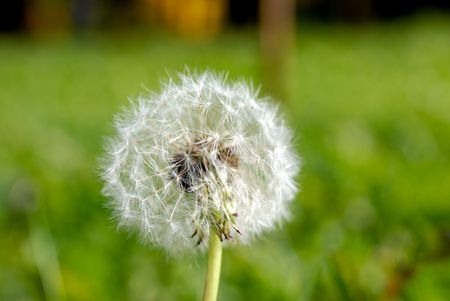 lea: Simeon a parachute in the form of an anthodium of a dandelion on a background of a green grass Stock Photo