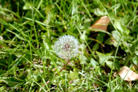 Simeon a parachute in the form of an anthodium of a dandelion on a background of a green grass Stock Photo