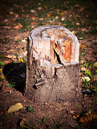 Close-up on tree stump of cut tree. Deforestation concept.