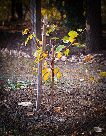 Freshly planted young tree, autumn planting, held with wooden stake. Forestation Concept. Stock Photo