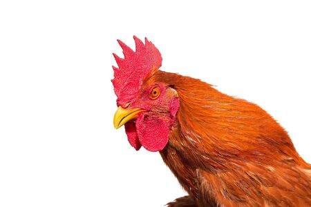 Rooster head isolated on white background