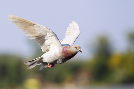 Pigeon, Columbidae, Columba livia domestica, with gray wings is flying