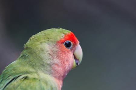 Rosy-faced dwergpapegaai, Agapornis roseicollis, jonge papegaai in de natuur Stockfoto