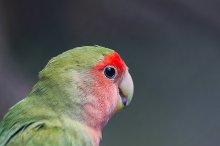 Rosy-faced lovebird, Agapornis roseicollis, young parrot in the nature Фото со стока