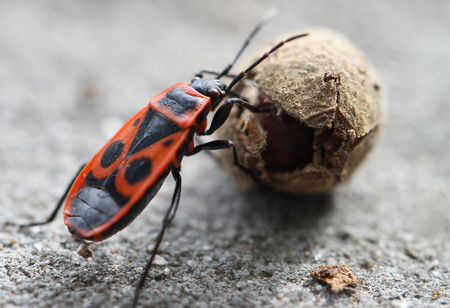 Firebug, Pyrrhocoris apterus, a common insect of the family Pyrrhocoridae, rolling mallow seed, against blurred background