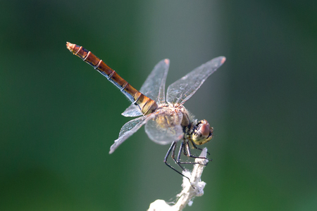 Ruddy darter (sympetrum sanquineum), red dragonfly, insect from the order Odonata, Anisoptera perching on the stalk against isolated green background Stock Photo