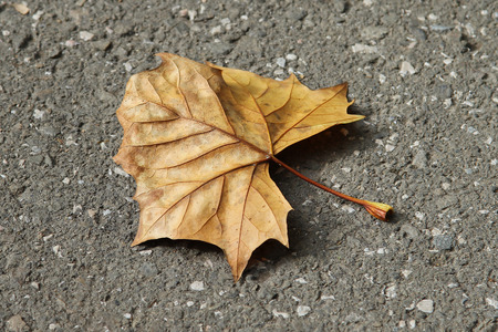Autumn colored dry leaf isolated on the ground. Cells and veins of a colorful foliage in the fall season.
