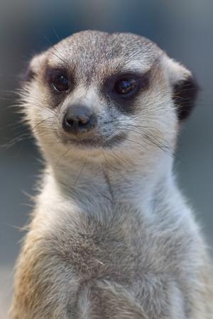 Meerkat (Suricata suricatta) is a small carnivoran belonging to the mongoose family (Herpestidae). Close up portrait of suricate patrolling the neighborhood isolated on blurry background. Stock Photo