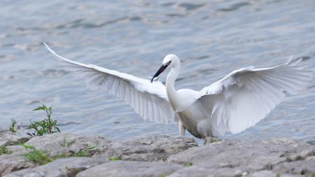 Little Egret (Egretta garzetta) catching fish on the river. White heron spreading wings, wide open and landing.
