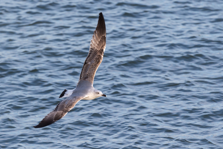 Caspian gull (Larus cachinnans), a large gull and a member of the herring and lesser black-backed gull, spreading wings wide open and flying on the river Stock Photo