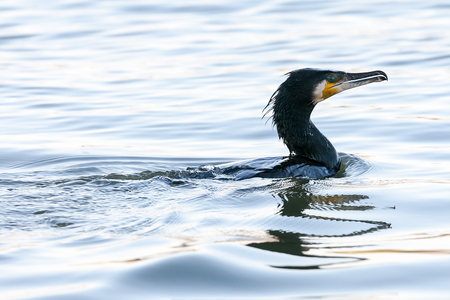 Great cormorant (phalacrocorax carbo) known as the Great black cormorant or Black shag, swimming in the river.