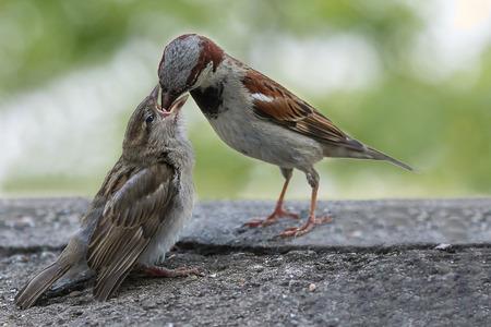 Cerca del gorrión común (passer domesticus) passeridae, alimentando a sus crías aisladas sobre fondo verde.