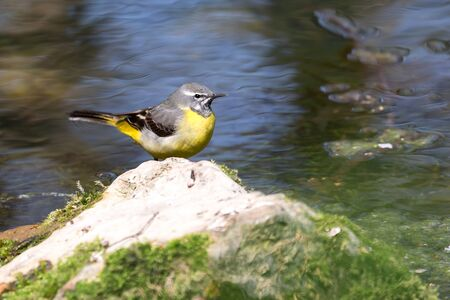 Gray wagtail (Motacilla cinerea) perching on the rock. Small bird with yellow feathers belly on the pond in nature.
