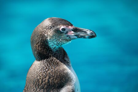 Humboldt penguin (Spheniscus humboldti) close up portrait on isolated blue background. Stock Photo