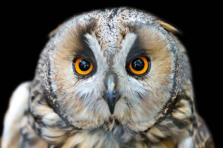 Close up portrait of Long-eared owl (Asio otus) with big orange eyes isolated on black background.
