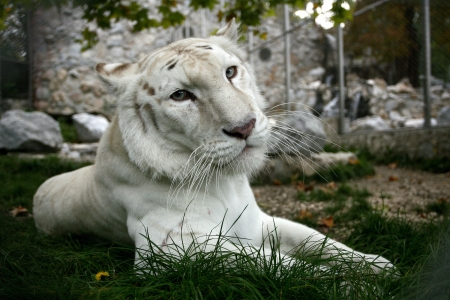 Dangerous looking white tiger with blue eyes photo