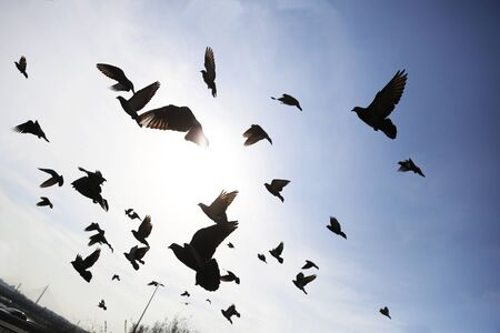 dove in flight: silhouettes flock pigeon flying in blue sky in sity