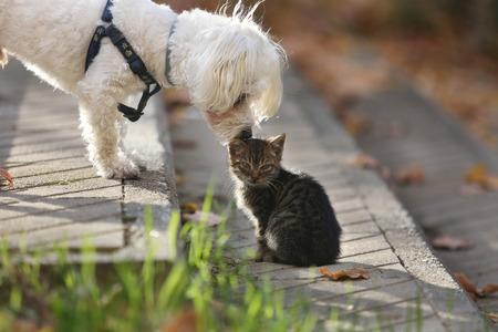 White Maltese dog kissing small cat kitten in head on sun day