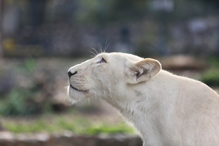 sightsee: Portrait of One White Lioness Who Looks at the Sky