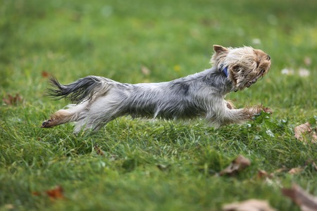 lapdog: Cute Yorkshire Terrier Dog Playing in the Yard