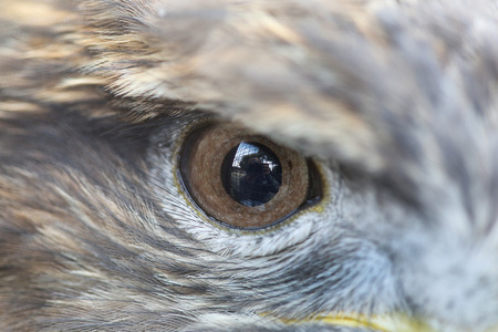 one eye: Close up The one eye of Eagle Stock Photo
