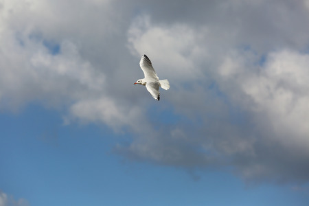 pirouette: Seagull flight in the cloud white blue sky