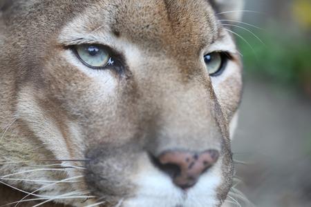 Puma Posing While Resting Stock Photo