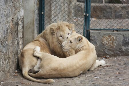 sightsee: Two White Lions Showing the Love between himself