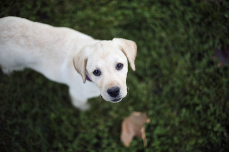 pappy: Young pappy labrador