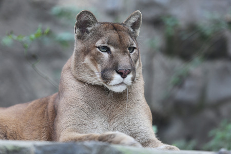 Portrait cougar puma striking a pose and look wildlife