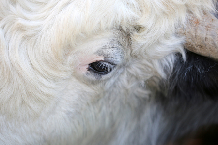 head close up: One eye Of Cow