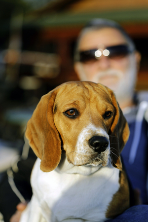 Close up  of a brown and white Beagle dog enyojing a sunny day with its owner sitting in his lap. Owner is a mature white bearde caucasian male wearing sunglasses.
