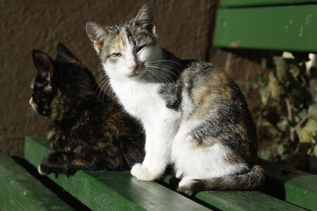 moggy: Two cats enjoying on a summer day sunbathing on green street bench multicoloured one looking at the camera while the dark one is seen from the side