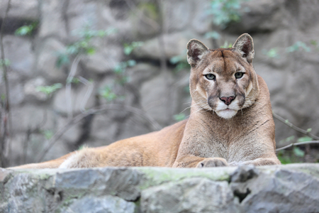 Mountain lion laying on rocky pedestal in front of rocky wall in zoo.