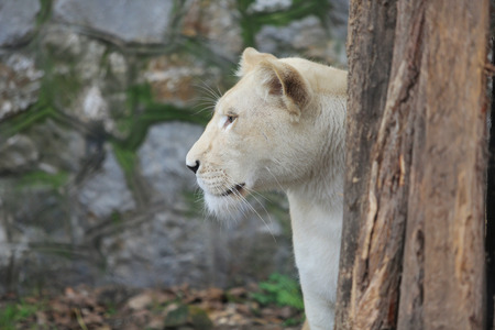 White lioness in front of old rocky wall in zoo. Animal species concept.