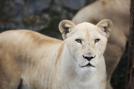 White lioness with blue eyes in zoo. Animal species concept.