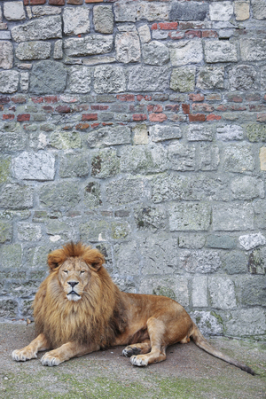 Male lion with long thick mane laying in front of old rock wall texture in zoo.